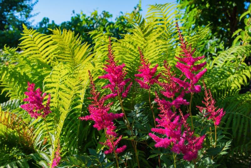 Ljusa rosa blommor mot gröna ormbunkesidor arkivfoton