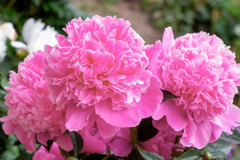 Ljusa rosa blomstra pionblommor på grön sidabakgrund i vår och sommar arkivbild