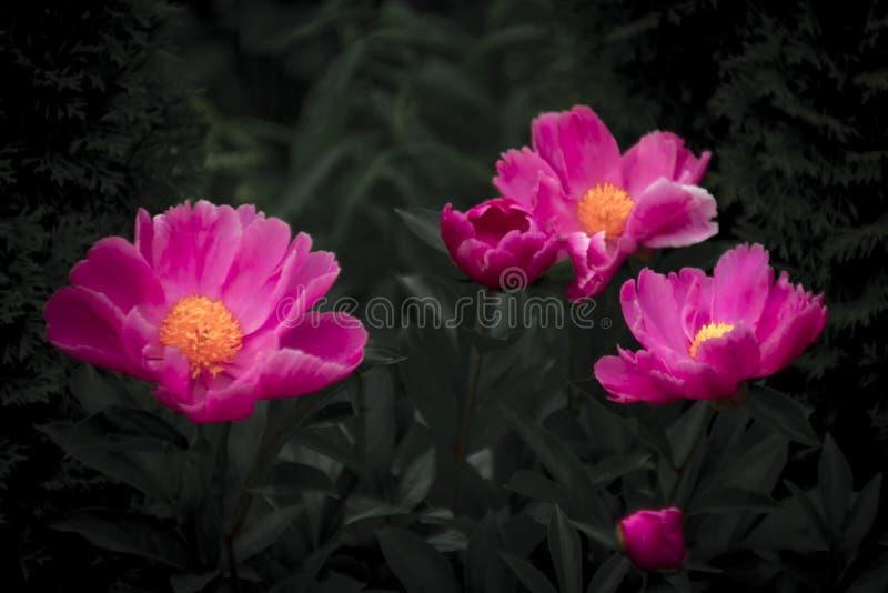 Ljusa rosa färgblommor och mörk bakgrund arkivfoto