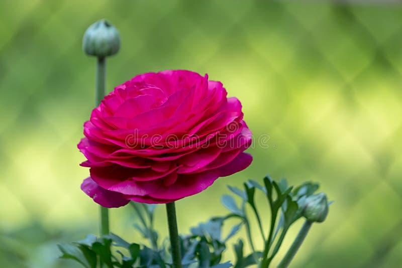 Ljusa rosa ranunculas som växer i trädgård mot gräsplan royaltyfria foton