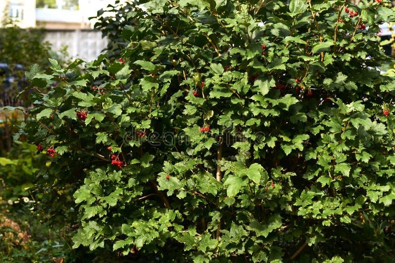 Ljusa saftiga gräsplaner Små röda bär Trädviburnum royaltyfria bilder
