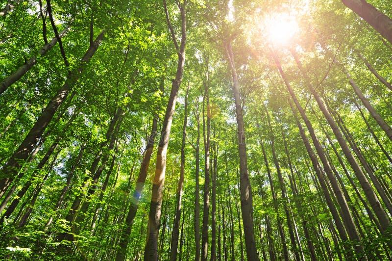 Ljusa skogträd i sommar arkivfoto