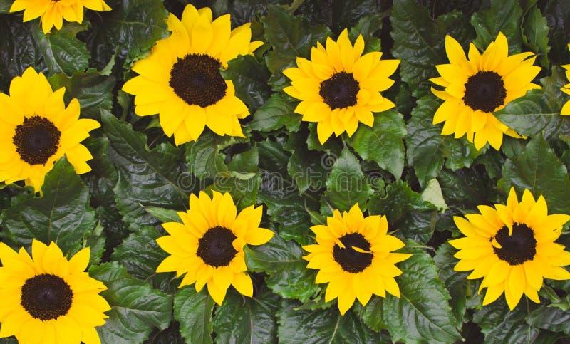 Ljusa små solrosor med nya gröna sidor Bästa sikt för gulliga solrosor Sommar som blommar blommor f?lt l solrosor royaltyfria bilder