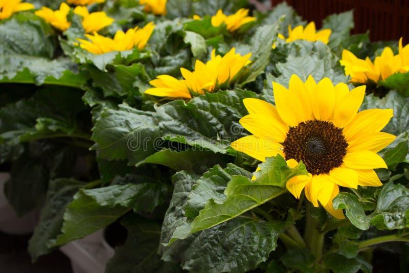 Ljusa små solrosor med nya gröna sidor gulliga solrosor Sommar som blommar blommor f?lt l solrosor royaltyfri bild