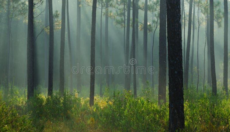 ljusa strålar för skog royaltyfri fotografi