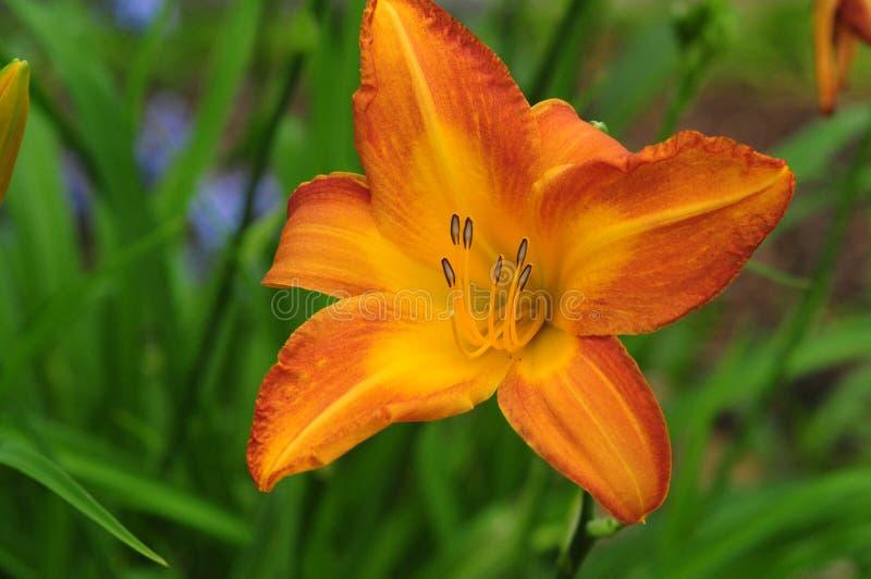 Ljusa Tiger Lily Flower royaltyfria foton