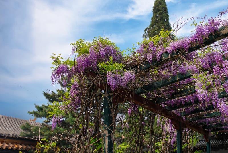 Ljusa violetta klungor av wisteriablommor i en orientalisk trädgård royaltyfria bilder