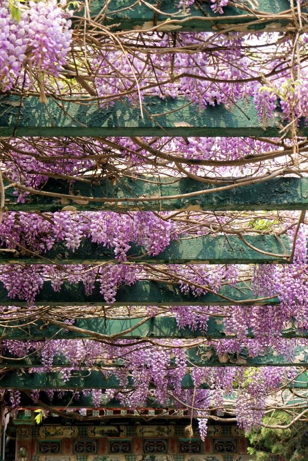 Ljusa violetta klungor av wisteriablommor i en orientalisk trädgård royaltyfri bild
