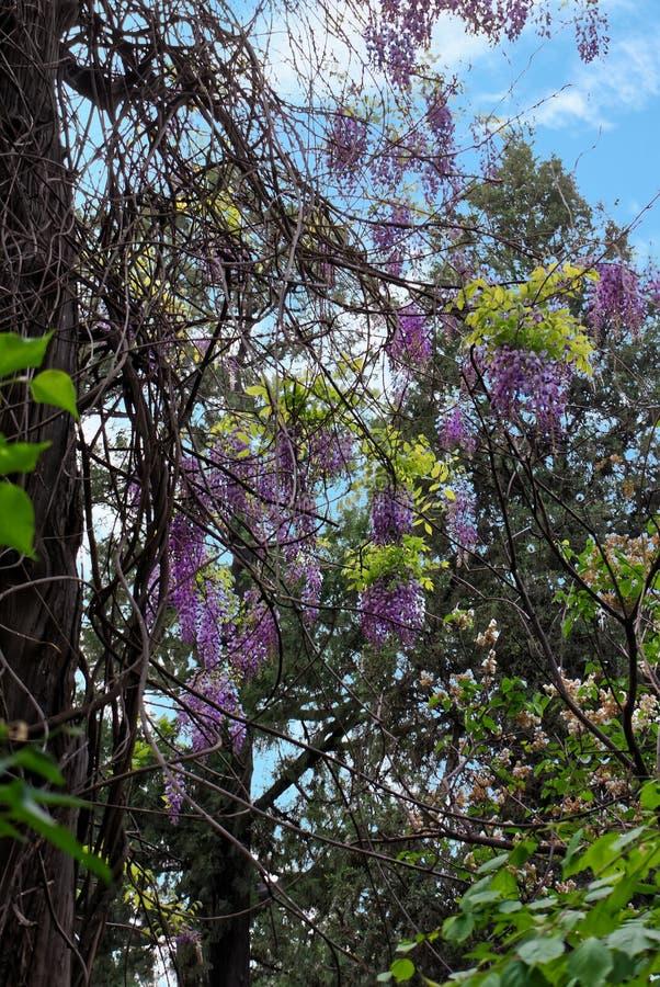 Ljusa violetta klungor av wisteriablommor i en orientalisk trädgård arkivfoto