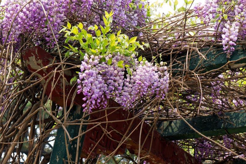 Ljusa violetta klungor av wisteriablommor i en orientalisk trädgård arkivbild