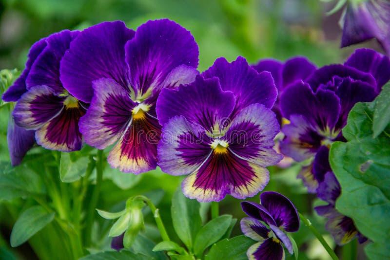 Ljusa violetta pansies i trädgården royaltyfria bilder