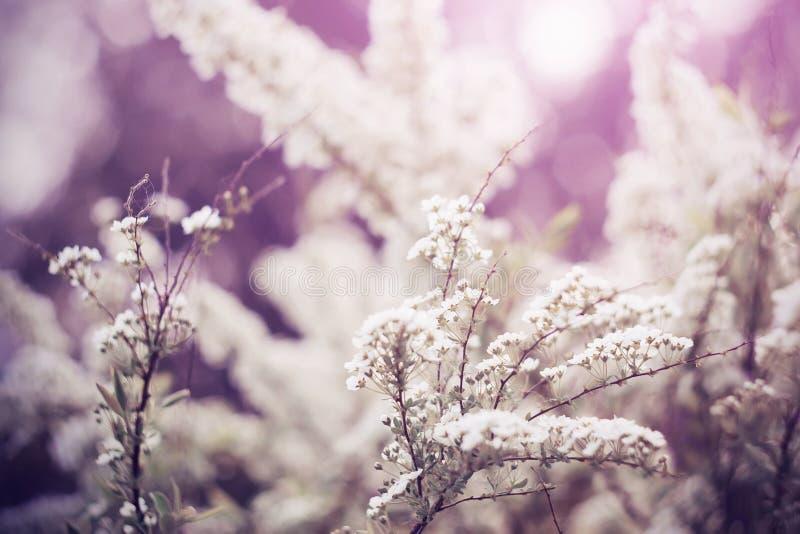 Ljusa vita doftande blommor av en spirea arkivbilder