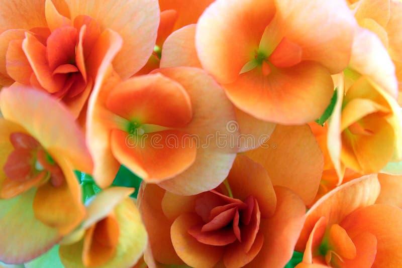 Ljusrött härligt för bakgrundsblommor som blomstras i sommar arkivfoton
