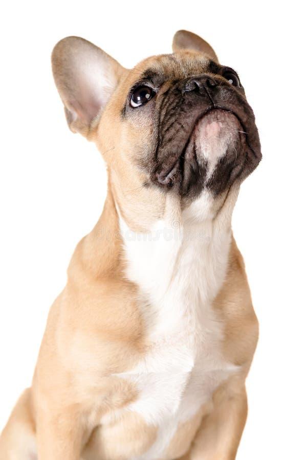 Fransk bulldogg för vitbakgrund royaltyfria bilder