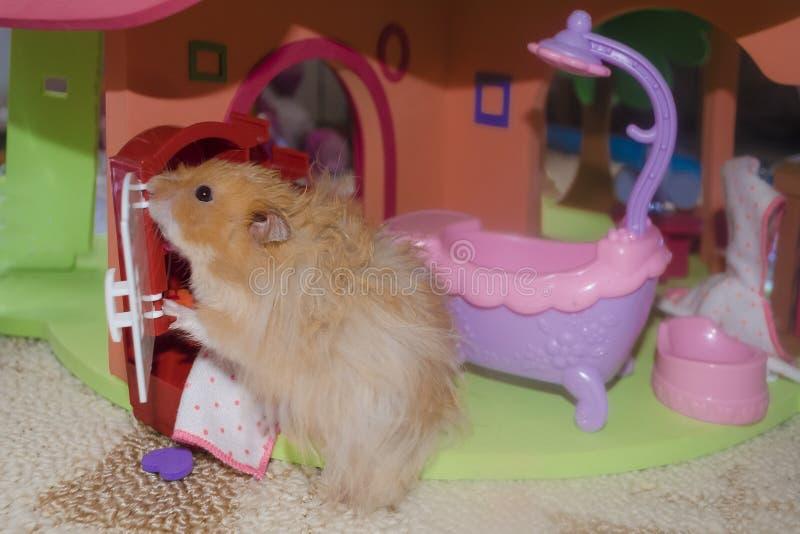 Ljust - den bruna päls- hamstern tvättar sig och ser i spegeln i badrummet royaltyfri bild