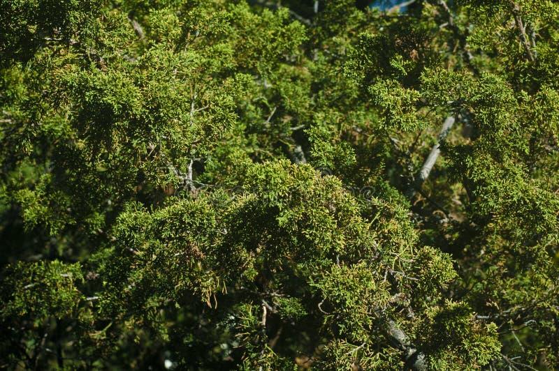 Ljust - det gröna vintergröna trädet lämnar filialer full rambakgrund fotografering för bildbyråer