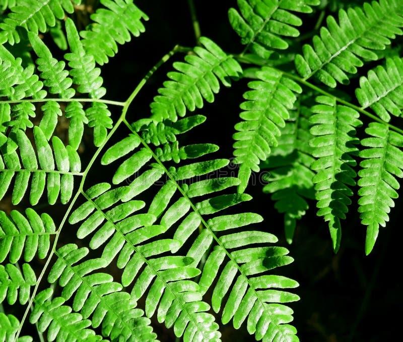 Ljust - gräsplansidor av Forest Ferns arkivbilder