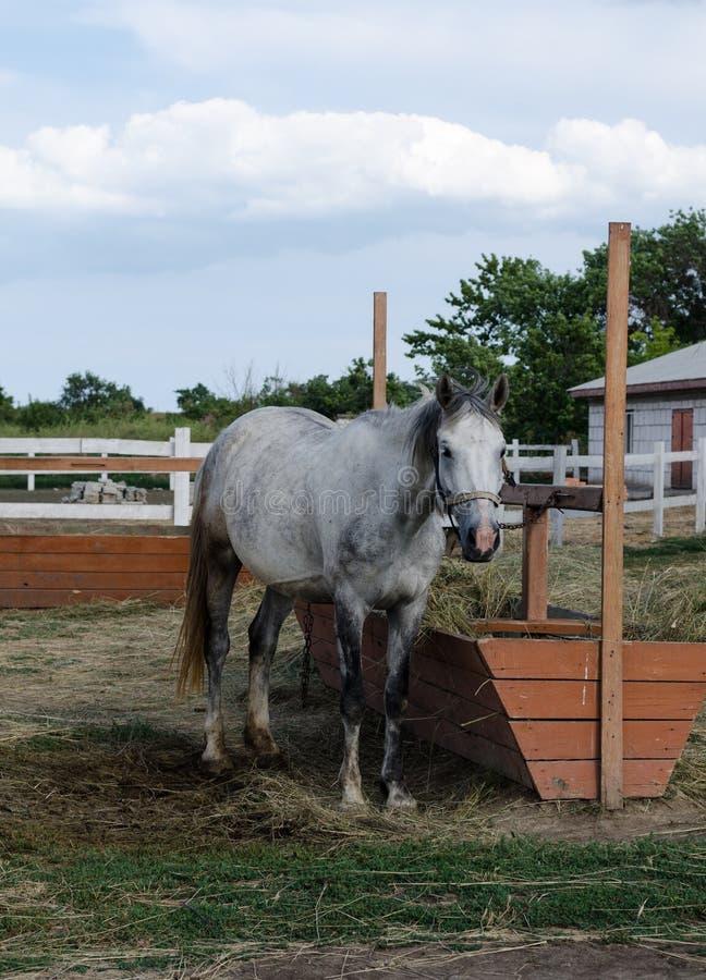 Ljust - grå häst som matar nära den hitching stolpen i lantgårdgården royaltyfria foton