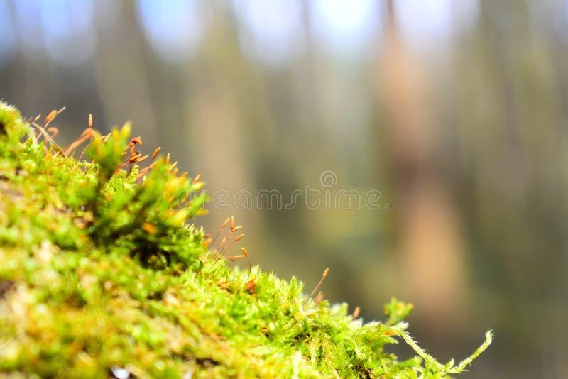 Ljust - grön mossa på trädstammen Synligt alla partiklar i mossan i de ljusa strålarna arkivbild