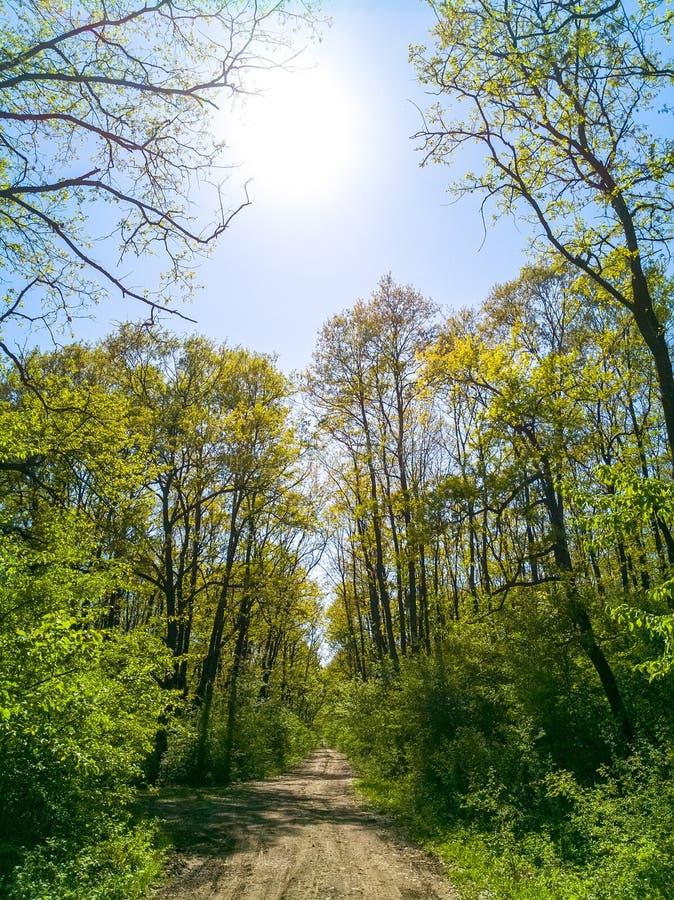 Ljust - grön skog mycket av liv under det varma solljuset för vår Stillsam bakgrund av vårnaturen, härligt landskap av a arkivfoto