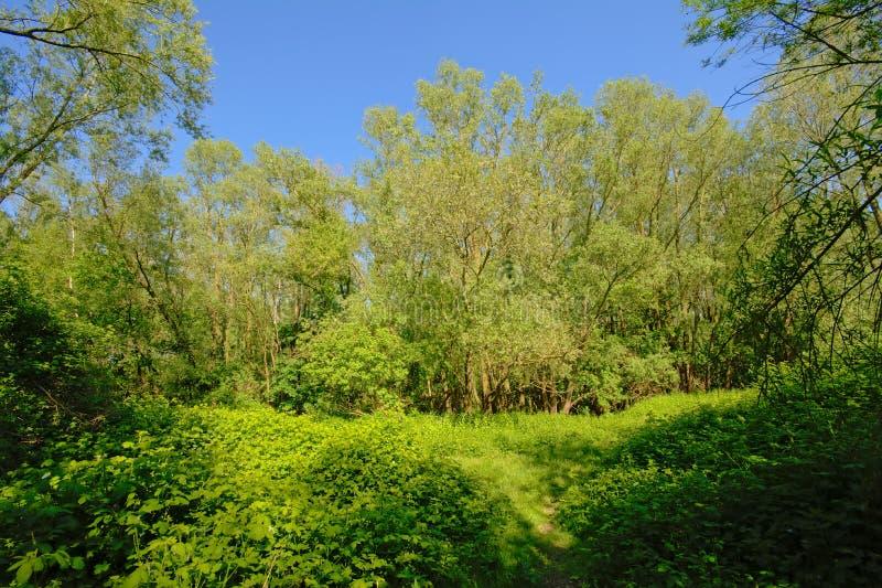 Ljust - grön solig vildmark med björnbärbuskar och träd i den flemish bygden arkivfoto