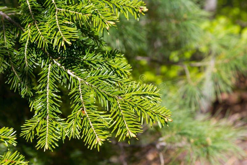 Ljust grön taggig branche av pälsträdet eller sörjer royaltyfri bild