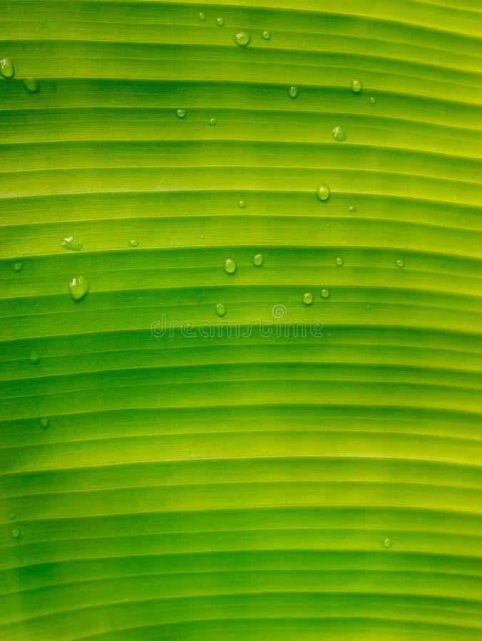 Ljust - gröna banansidor arkivfoton