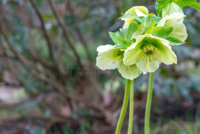 Ljust - gröna blommor av den vita helleborusen för helleboren, jul steg, eller Lenten steg, börjar att öppna i vinter och blo royaltyfri foto