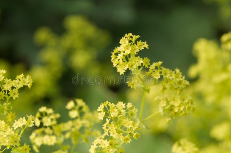 Ljust - gröna blommor av en ansvarbuske för dam s arkivbild