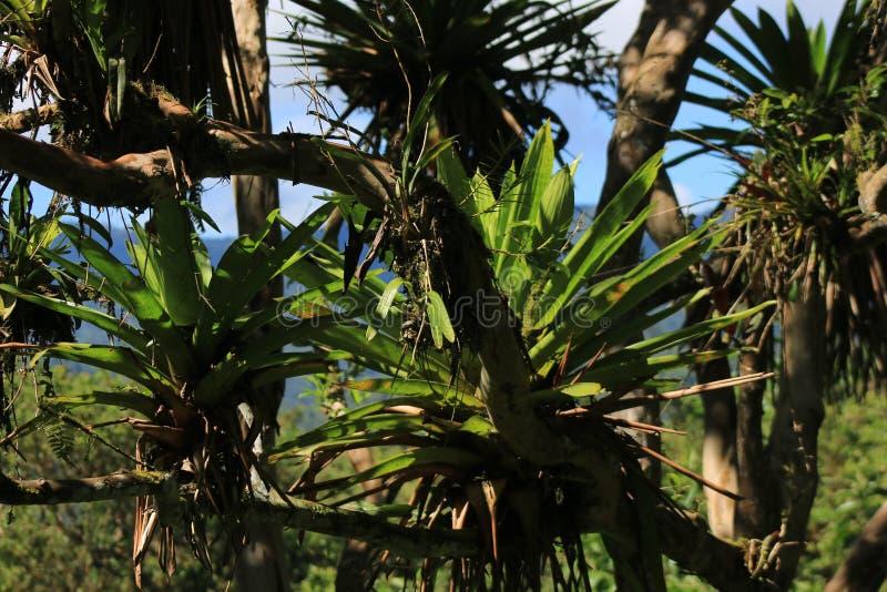 Ljust - gröna bromelior i en torr skog på bruna filialer royaltyfri bild
