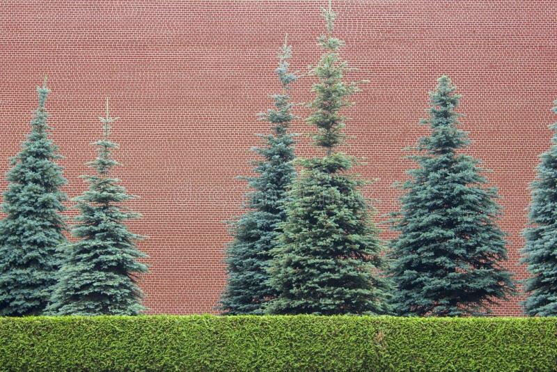 Ljust - gröna klippte buskar och blå gran mot bakgrunden av en hög vägg för röd tegelsten Textur f?r grov yttersida arkivfoton