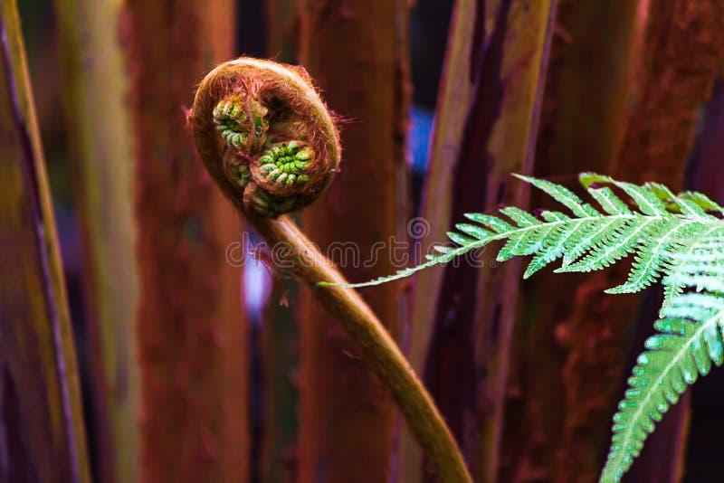 Ljust - gröna ormbunkeormbunksblad med en ny stjälk som unferling dess tendrals royaltyfria bilder