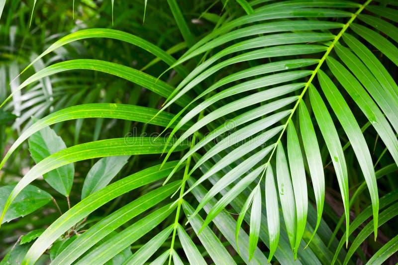 Ljust - gröna palmträdsidor, tropisk natur royaltyfri fotografi