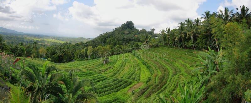 Ljust - gröna risfält med palmträd arkivfoto