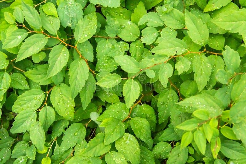 Ljust - gröna saftiga sidor texturerad bakgrund arkivfoton