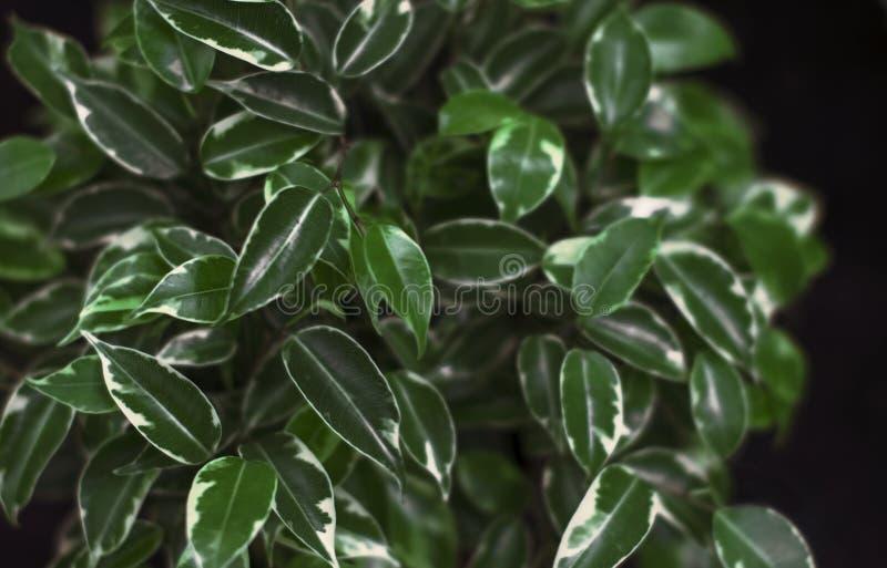 Ljust - gröna sidor av den hem- Benjamin blomman arkivfoto