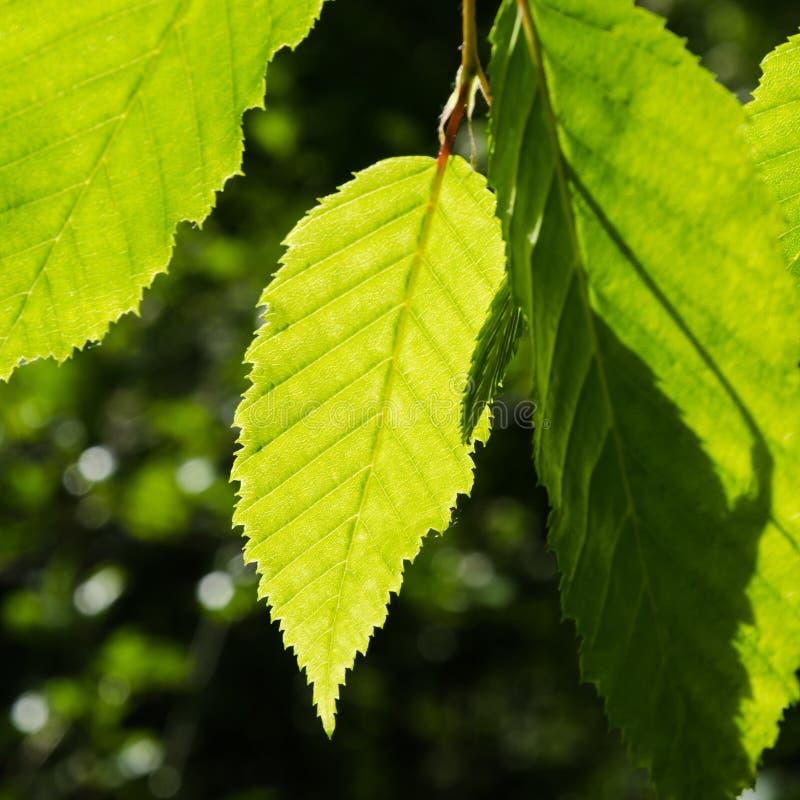 Ljust - gröna sidor som växer i ett avenbokträd royaltyfri foto