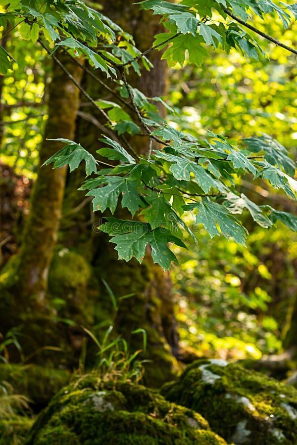Ljust - gröna sommarlönnlöv över mossigt vaggar och rotar arkivbild