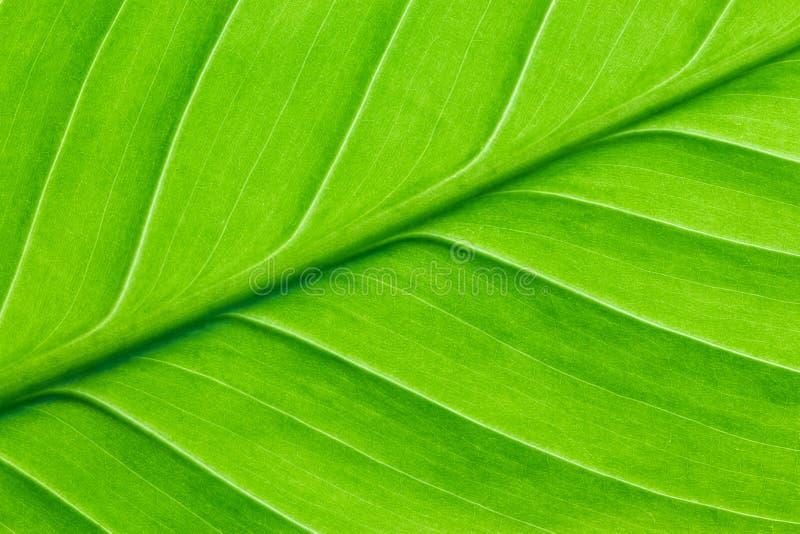 Ljust - grönt blad av ett växtslut upp royaltyfri foto