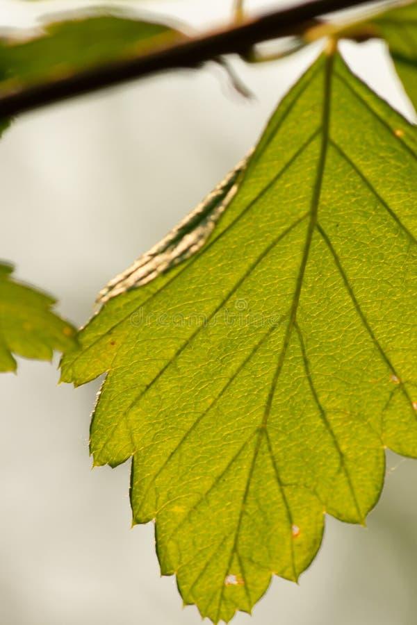 Ljust - grönt bladslut upp att hänga från slank filial i sommar arkivbilder