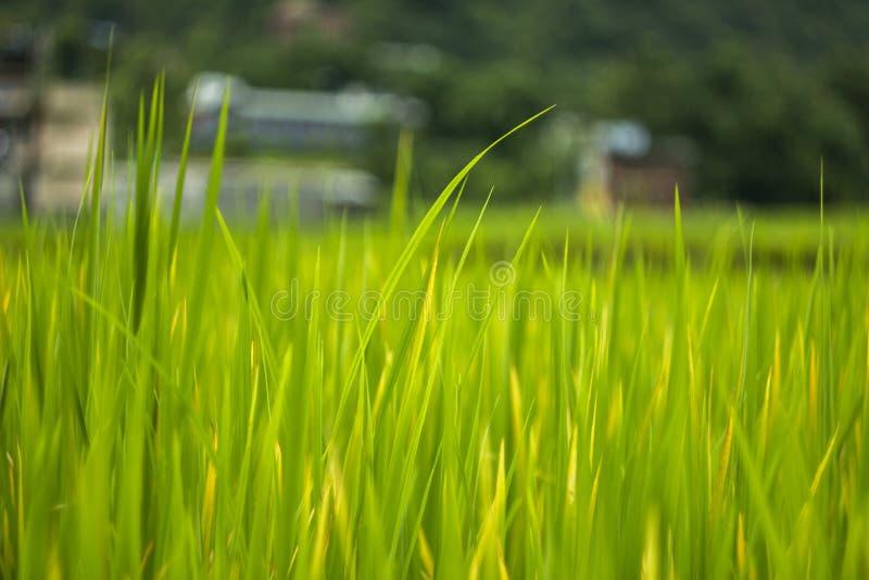 Ljust - grönt gräs på en suddig bakgrund av en risfält och ett hem i skogen royaltyfria foton