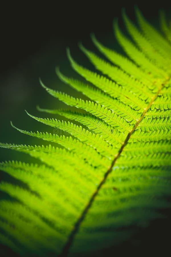 Ljust - grönt ormbunkeblad, naturlig vertikal bakgrund royaltyfri bild