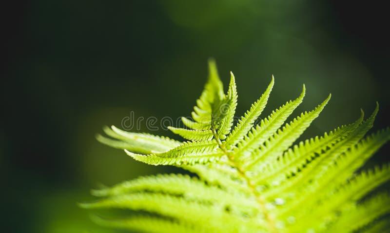 Ljust - grönt ormbunkeblad, naturligt makrofoto royaltyfri foto