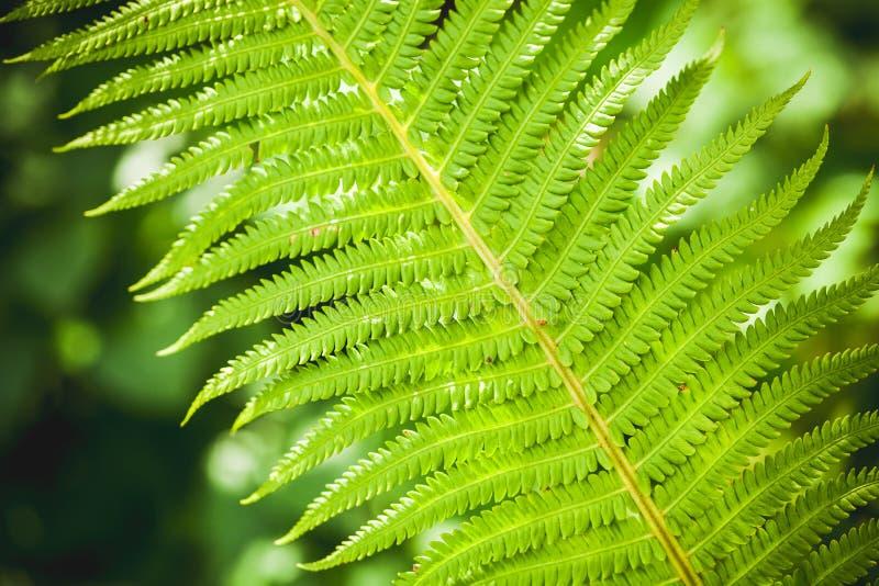 Ljust - grönt ormbunkebladfragment arkivbild