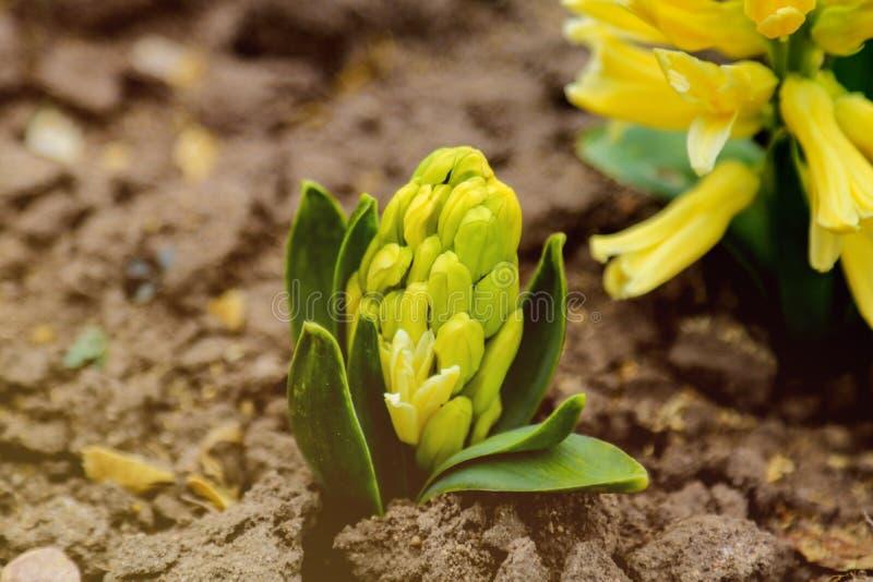 Ljust - gul hyacintblomma eller hyacinthus i vårträdgårdslut upp Blomma pastellfärgade doftande hyacinter arkivbilder