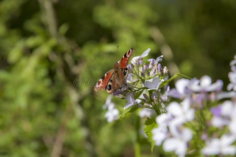 Ljust härligt fjärilspåfågelöga arkivfoton