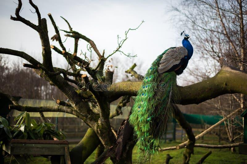 Ljust manligt påfågelsammanträde på en bänk royaltyfria foton