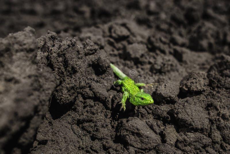 Ljust - närbild för grön ödla på jordning arkivfoto