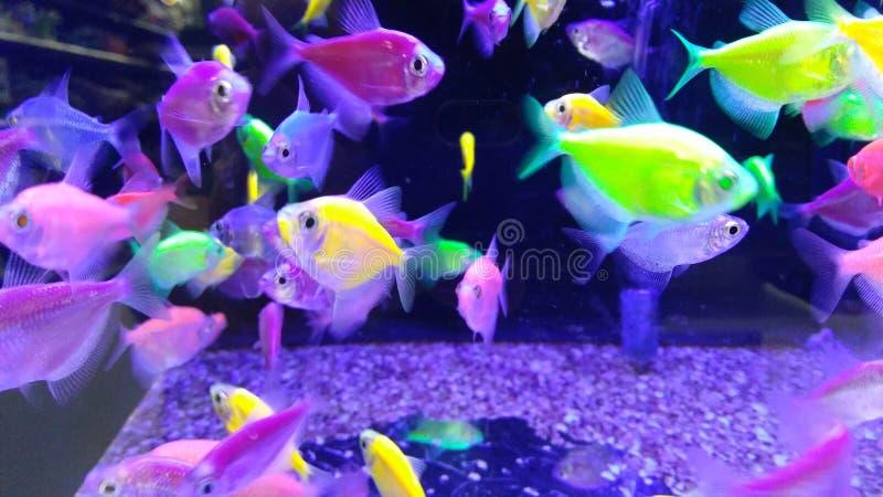 Ljust neon färgad fisk fotografering för bildbyråer