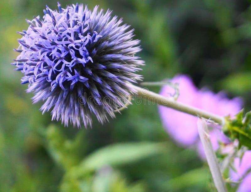 Ljust och pråligt slut för blomma för jordklottistel upp Kallade också den Sydlig jordklottisteln, Echinopsritro royaltyfri foto